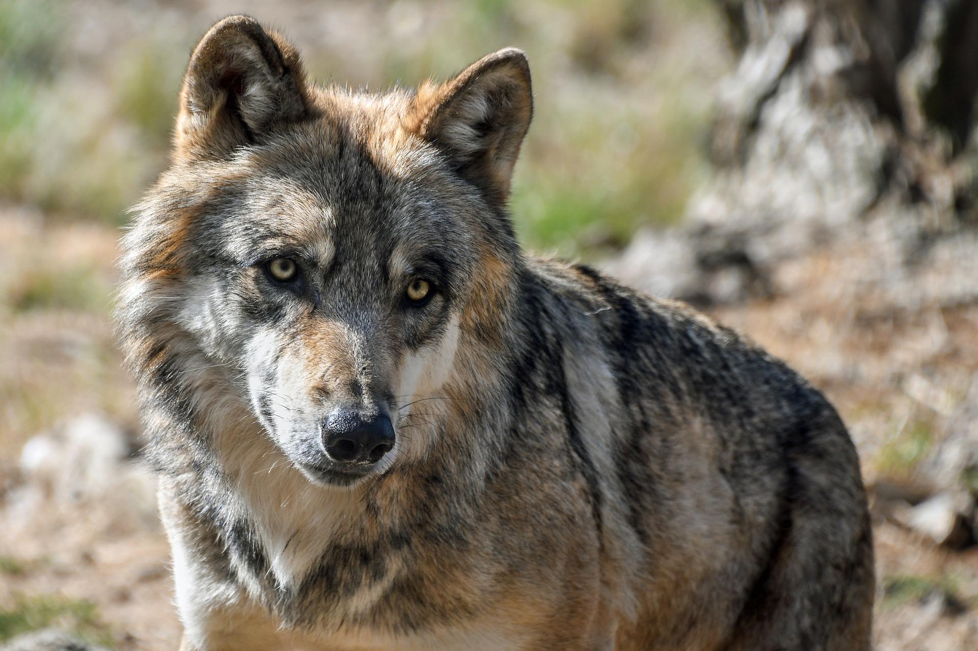 Faszinierend und streitbar - Wild lebende Wölfe, die Westeuropa zurückerobern (Bild von Christel SAGNIEZ auf Pixabay)