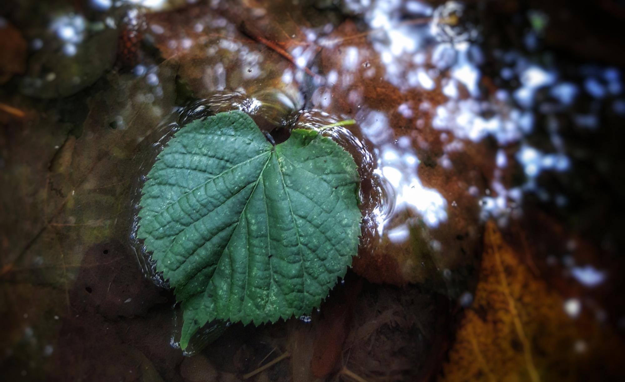 Lindenblatt, das auf dem Wasser treibt